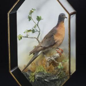 Passenger pigeon specimen, Canadian Museum of History 995.26.1, IMG2009-0063-0014-Dm