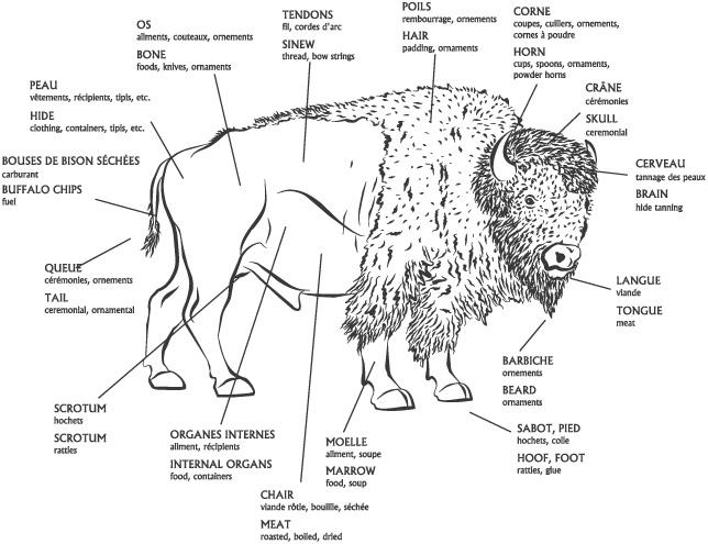 Le bison d 39 amerique - Coloriage bison d amerique ...