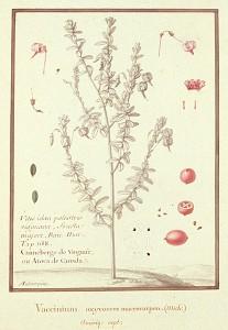 The Common Cranberry