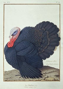 The common Turkey