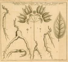 Iroquoeis Garent-oguen (ginseng), 1718, Joseph-François Lafitau