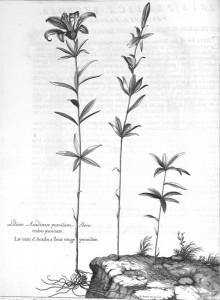 Acadian Dwarf Lily