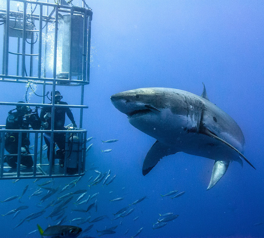 Plongeur rencontre requin blanc