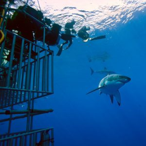 Freedivers and sharks