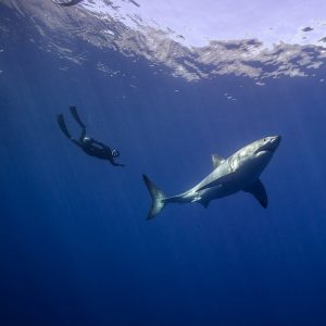 Freediving with a Great White Shark