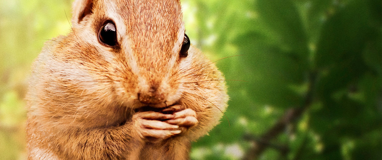 A chipmunk on a tree branch with his cheeks full gnawing on some nuts