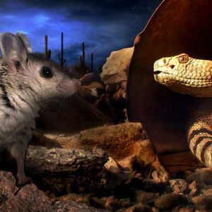 Grasshopper mouse and diamondback rattlesnake