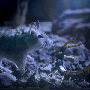 Grasshopper mouse and scolopendra